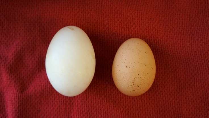 Duck egg vs chicken egg from http://www.pleasepassthepeas.com